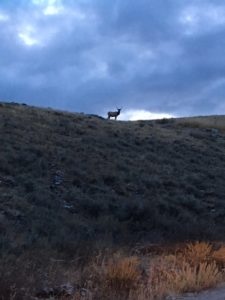 Our First Sighting, An Elk!!!