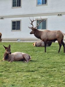 More Elk Sightings!