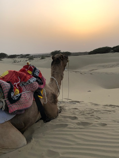 Camel at Sunset at Khuri Dunes