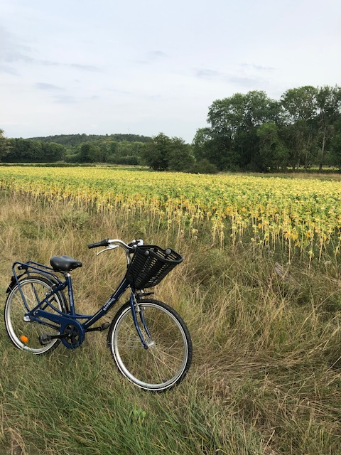 Biking Among Sunflower Fields